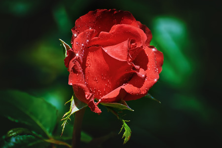 anthesis: Red Rose Flower with Water Drops