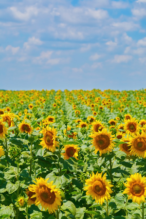 anthesis: Yellow Sunflowers Field under Cloudy Sky in Bulgaria Stock Photo