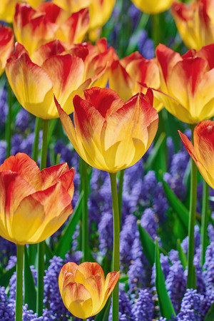 anthesis: Red and Yellow Tulips among the Blue Flowers Stock Photo