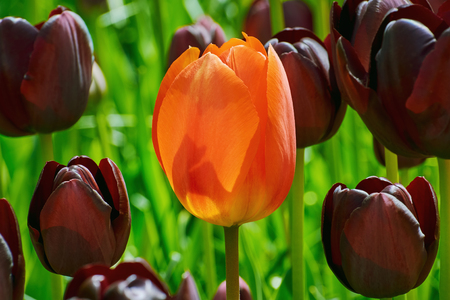 anthesis: Single Red Flower of Tulip among Black Ones Stock Photo