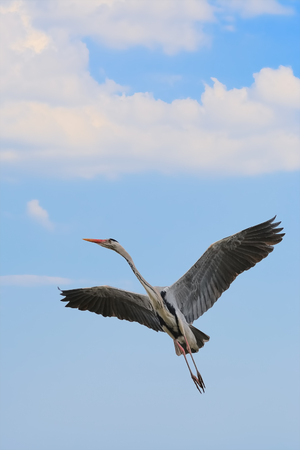 Grey Heron Take-off to the Blue Sky