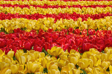 anthesis: Flower Bed of Red and Yellow Tulips