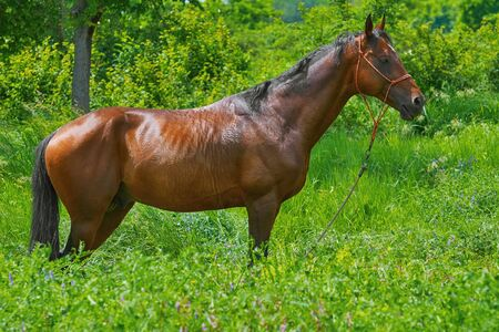 steed: Chestnut Horse in the Grass Stock Photo
