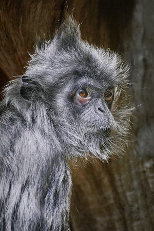 Portrait of Silvered Leaf Monkey (Trachypithecus Cristatus)