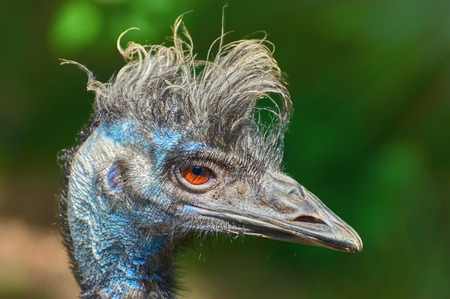 ratite: Close up Portrait of Emu