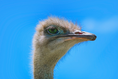 ratite: Portrait of Ostrich against the Blue Sky