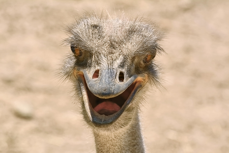 ratite: Close-up Portrait of Ostrich