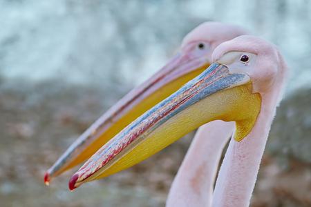 Portrait of Big Rosy Pelican (Pelecanus Onocrotalus) Stock Photo