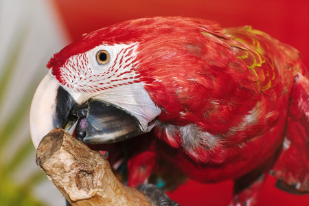 psittacidae: Portrait of the Macaw Parrot over the Yellow Background