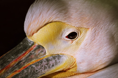Close up Portrait of the White Pelican