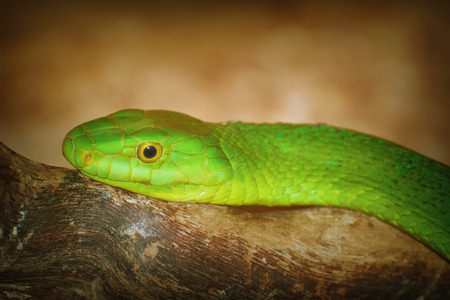 Eastern Green Mamba on the Branch of Tree