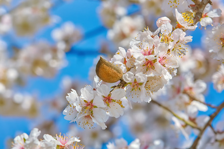 anthesis: Branch of a Blossoming Almond Tree