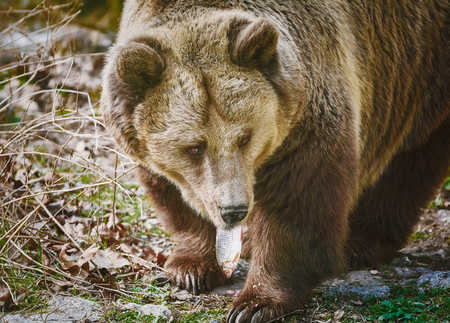 diurnal: Brown Bear Eats a Frech Catched Fish Stock Photo