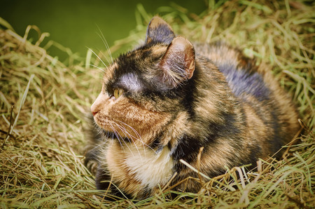 moggy: Outbred Cat in the Hay