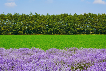 anthesis: Lavender in front of Green Field and Trees