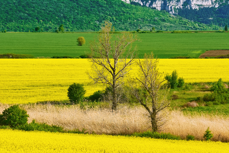 Bare Trees in the Rapeseed Field Stock Photo