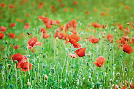 anthesis: Field of Red Poppies in Varna, Bulgaria Stock Photo