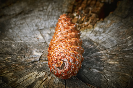 ecological environment: Fir Cone on the Stump