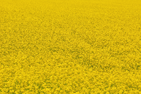 ecological environment: Yellow Field of Ripe Colza in Bulgaria