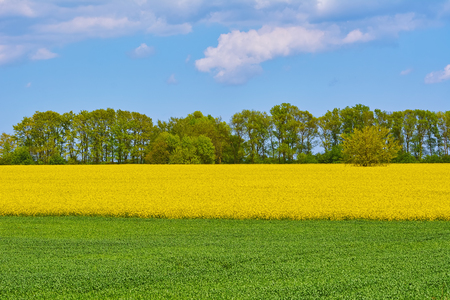 rappi: Field of Ripe Colza and Green Wheat Stock Photo