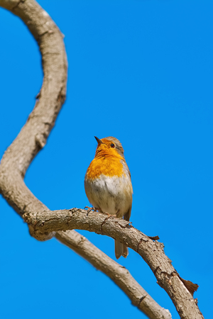 erithacus: European Robin (Erithacus rubecula) Perching on a Branch of the Tree