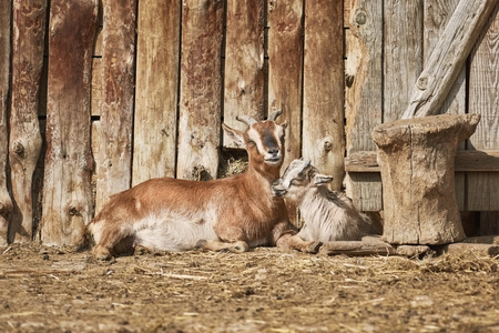 She-goat with Kid near the Wooden Wall of Barn