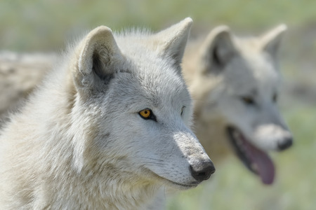 Alaskan Tundra Wolf (Canis Lupus Tundrarum), also Known as the Barren-ground Wolf Stock fotó