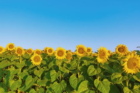 anthesis: Yellow Sunflowers on the Background of Blue Sky Stock Photo