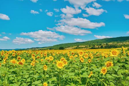 Fielda of Yellow Sunflowers in Bulgaria