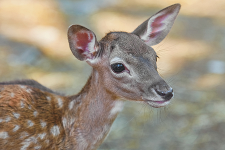 Close up Portrait of a Fawn Stock Photo