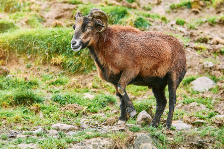 Ram Standing on the Slope of a Hill