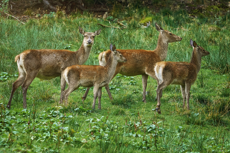 Deers on the Slope of a Hill in Rainy Day