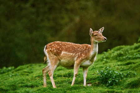 Deer under the Rain at Edge of the Forest Stock Photo