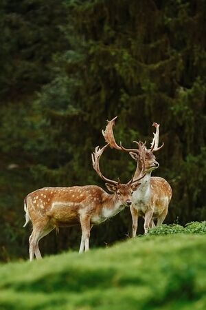 margen: Deer Grazing near the Forest on the Slope of a Hill