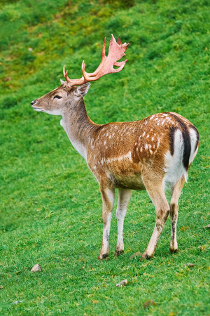 Deer Grazing on the Slope of a Hill
