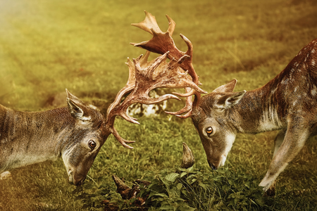 Deer Fight on the Pasture in Germany Stock Photo