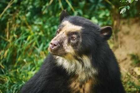 Asian Black Bear (Ursus Thibetanus, Previously Known as Selenarctos Thibetanus)