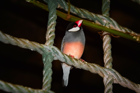 Java Sparrow (Lonchura Oryzivora) Perched on the Rope Stock Photo