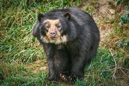 ツキノワグマ (Ursus ツキノワグマ、ニホンツキノワグマとして以前知られている) 写真素材