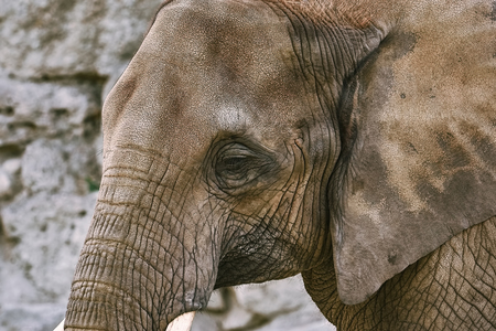 Close-up portret van Aziatische olifant (Elephas Maximus)