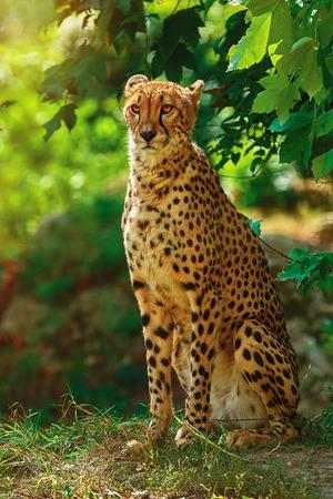 Cheetah (Acinonyx Jubatus) Sitting on the Ground