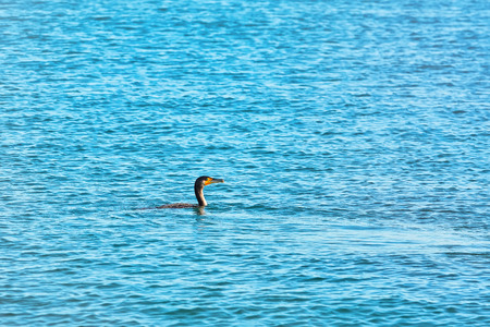 Minimalistic Image of Double-crested Cormorant (Phalacrocorax Auritus) Swimming in Black Sea Stock Photo
