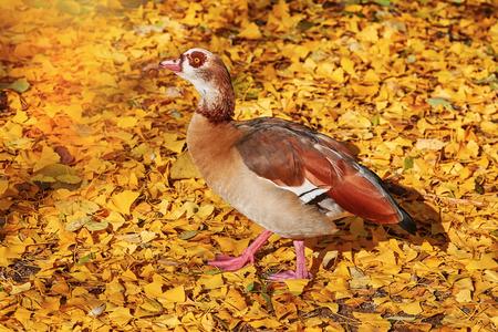 Egyptian Goose (Alopochen Aegyptiaca) in Yellow Leaves
