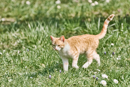 Outbred Cat Walking on the Green Grass