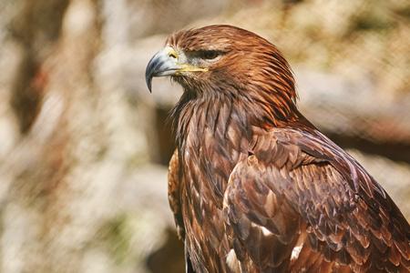 Close up Portrait of Golden Eagle (Aquila Chrysaetos Canadensis) Stock Photo