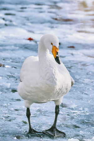 White Swan Stands on the Ice 스톡 콘텐츠