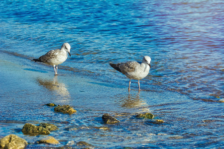 Subadult European Herring Gulls (Larus argentatus) on the Black Sea Shore Stock Photo