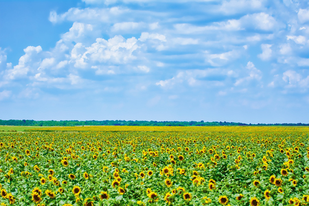 Yellow Sunflowers Field under Cloudy Sky in Bulgaria Stock Photo