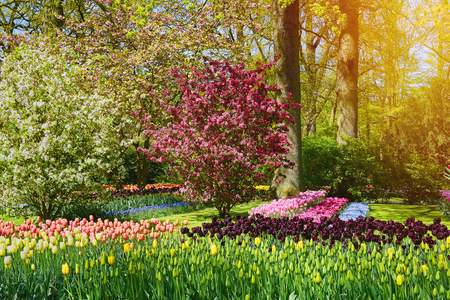 Spring in Netherlands. Flowerbed and Tree in Blossom