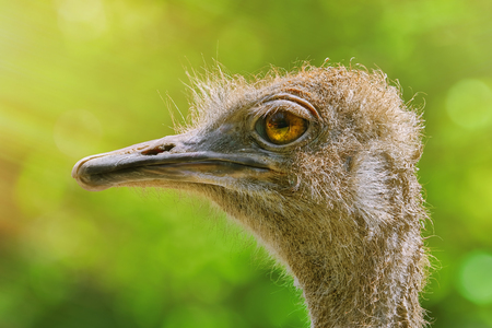 Portrait of Ostrich against Green Background Stock Photo
